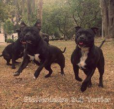 Staffys Staffbulls Staffordshire Bull terrier staffies