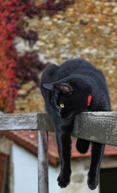 In some parts of the world, black cats are regarded as a symbol of good luck. Even it is seen that people of these places gift black cat to their close ones. Beautiful Cats, Animals Beautiful, Cute Animals, Animals Images, Beautiful Pictures, Crazy Cat Lady, Crazy Cats, White Cats, Black Cats