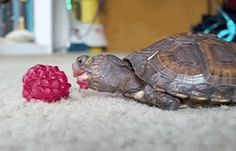 Oh my gosh I can't even no no this is why turtles are my favorite