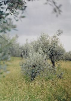 """""""Little Green Trees (with olives)"""" JoAnn Verburg (2003 Chromogenic Color Print). Emphasis.  The way the photographer focused on the tree and made the background blurred out put emphasis on the idea of the picture. It makes it stand out more to the viewer so that they're only focused on the tree."""