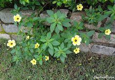 Herbácea, pertence à família Turneraceae, nativa da Flórida, México, América Central e América do Sul, perene, de 30 a 60 cm de altura, com florescimento v