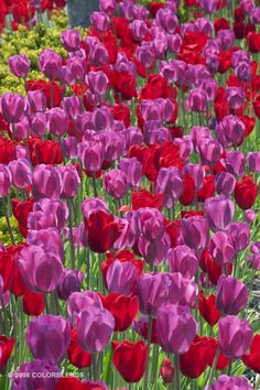 Tulip Lipsticks ™ | Pink Bulbs for Sale | COLORBLENDS