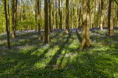 Trees and shadows in the bluebell forest