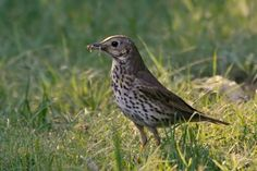 song thrush sings