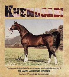 Khemosabi Arabian Stallion | KHEMOSABI ARABIAN HORSE