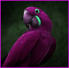 A gorgeous plum colored parrot with teal accents for eyes and beak area. Wow!