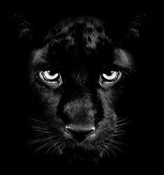 Black Panther Cat, Jaguar Panther, Black Panther Tattoo, Beautiful Cats, Animals Beautiful, Animals And Pets, Cute Animals, Lion Wallpaper, Mundo Animal