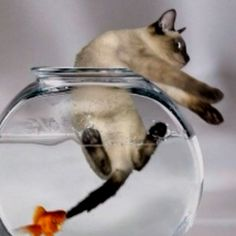 "Angry fish : ""You wanted in here, you're staying.""  Cat : "" HELP! GOLD SHARK ATTACK !"""