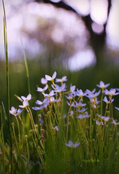 Bluets sweeten our spring visit to Maine.  It is always a delight to see the little white clumps of flowers amidst the sea of green. It is amazing that though very little, they still manage to st…