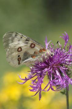 Parnassius apollo, papillon a protéger dans la vallée du Buëch.#PACA  #buech Provence, Mountains, Provence France