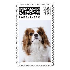 Cavalier King Charles Spaniel sitting in studio Postage Stamps This site is will advise you where to buyReview          Cavalier King Charles Spaniel sitting in studio Postage Stamps please follow the link to see fully reviews...