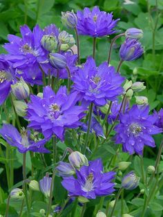 "Columbine 'Clementine Blue' - Strong new series of Columbines with large blue spurless flowers. Full sun to mostly shady. Height 18"". Zones 3-9"