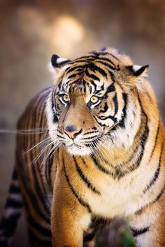 Tiger by Rudy Serrano on 500px