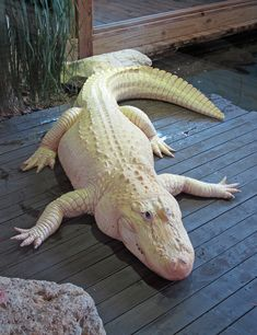 ˚Albino Alligator - Florida