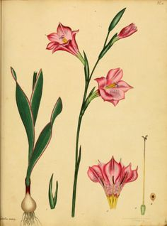 Rose-coloured Gladiolus.Plate from 'The Botanist's Repository' by Henry Andrews. Published 1797 by The author in London Biodiversity Heritage Library. archive.org