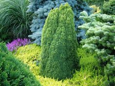 Conifer color contrasts. THE BEST USE FOR YELOW, COMBINE W/ GREEN AND BLUE ACCENTS.