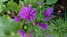 เบญจมาศ (Chrysanthemum)