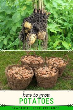 Growing your own potatoes may seem like a simple act, but it can make a huge difference in terms of your self-reliance. Potatoes are a near complete food, and there's no better way to harvest a ton of Potato Gardening, Vegetable Gardening, Veggie Gardens, Flower Gardening, Veg Garden, Garden Cafe, Potager Garden, Garden Bed, Potato Vegetable