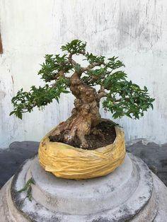 Bonsai Art, Miniature Trees, Outdoor Decor, Flowers, Plants, Design, Plant, Royal Icing Flowers