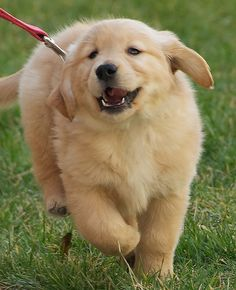 Golden+Retriever+Puppy+Running