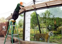 A zookeeper tries to get Jae Jae the Sumatran Tiger to stretch up so he can be measured during the annual stock take of weights and sizes at London Zoo. Picture: John Stillwell/PA Wire