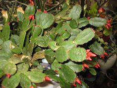 If a stem of your mature Christmas cactus is getting woody, it doesn't mean that anything is amiss. That means that there is no reason to try fixing a Christmas cactus with woody stems. Click here for more information about woody Christmas cactus.