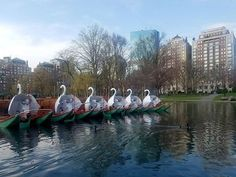 The Swan Boats are a fleet of dual-pontooned pleasure boats which operate in a pond in the Boston Public Garden.  The Swan Boats have been in operation since 1877, and have since become a cultural icon for the city.  The Swan Boats operate beginning the second weekend of April through the third weekend in September. .  #BostonAttitude #BostonLife #BostonUSA #VisitBoston