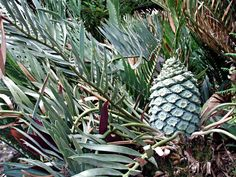 Encephalartos Dolomiticus Wolkberg Cycad Wolkbergbroodboom S A no Pacsoa Pineapple, Plant Leaves, Palm, Fruit, South Africa, Flowers, Trees, Gardens, Plants