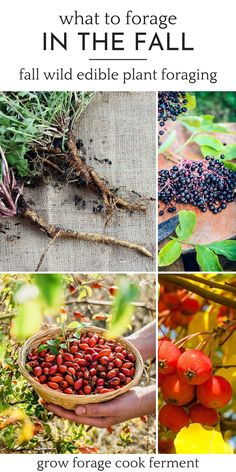 What to Forage in Fall: 30+ Edible and Medicinal Plants and Mushrooms - Wondering what to forage in the fall? There are so many wild edible plants and mushrooms to get you started! Foraging in autumn is so easy to do and you'll be surprised at how much there is to forage for. Foraging for beginners. Fairy Food, Green Witchcraft, Edible Wild Plants, Plant Identification, Wild Edibles, Growing Seeds, Trail Riding, Autumn Garden, Natural Life