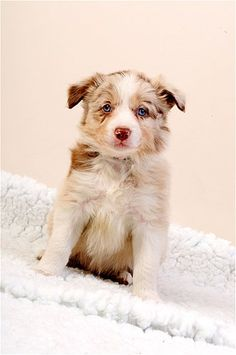 Red Merle Border Collie pup
