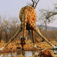 Discovered by Mark Rentz: A touching story about the importance of watering holes to wildlife during the dry season in Nambia. At Little Ongava Safari Camp, Omuthiyagwiipundi, Namibia