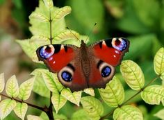 Butterflies of the British Isles - Photo gallery: Peacock