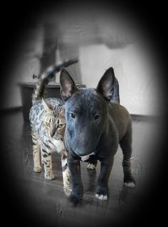 Chien Bull Terrier, British Bull Terrier, Mini Bull Terriers, Miniature Bull Terrier, Bull Terrier Puppy, English Bull Terriers, Animals And Pets, Cute Animals, Bully Dog