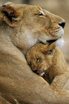 Lion mama and cub
