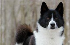 Karelian Bear Dog.