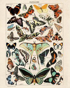 Butterfly Diagram 3 Papillons Poster Vintage Reproduction. Le Petit Larousse Illustré by Millot. Educational Chart Print Poster. CP275