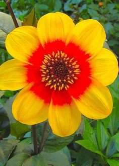 Dahlia Moonfire in Monets' Garden Greeting Card for Sale by Tim G Ross Flower Garden, Planting Flowers, Rare Flowers, Unusual Flowers, Amazing Flowers, Beautiful Flowers, Wonderful Flowers, Trees To Plant, Dahlia Flower