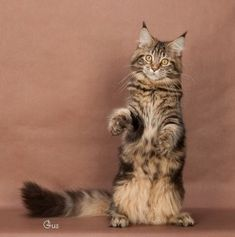 Maine Coon Cats Wisconsin Below is the list of available cats. Use the search tools on the left to narrow your search. We Have Lots Of Tips And Advice On Choo Maine Coon Cats, Cat Health, Jacksonville Fl, Wisconsin, Kitty Kitty, Animals, Advice, Tools, Search