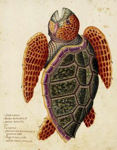 Biomedical Ephemera, Sea turtle illustration