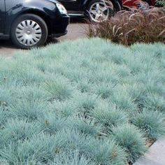 12 x Festuca glauca - Blauwgras in pot (stukprijs € Lawn, Home And Garden, Backyard, Landscape, Plants, Gardening, Rembrandt, Beach House, Garden Ideas