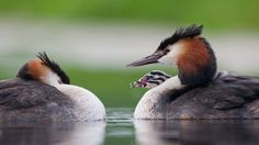 Picture of the day for March 24 2017 at by Bing; Great crested grebes with chick in Vlaardingen Netherlands ( Jasper Doest/Minden Pictures) Coloured Feathers, Black Feathers, Hispanic Heritage Month, Navajo Nation, Wallpaper Gallery, Image Archive, Image Of The Day, Daily Photo, Background Images