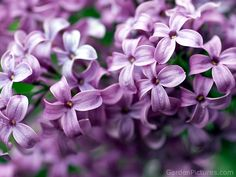 Lilac Flower Pictures