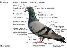 The history of the pigeon, pigeon anatomy, and anything and everything else that… Pet Pigeon, Wood Pigeon, Pigeon Loft, Pigeon Pictures, Homing Pigeons, Body Diagram, Pigeon Breeds, Gross Anatomy, Cute Birds