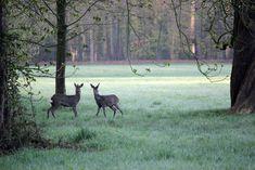 Rehe im Bürgerpark Bremen