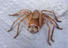 Brown Huntsman Spider, AU These guys love moving into your house uninvited. Fun to catch and release. Australian Spider, Australian Insects, Huntsman Spider, Creepy Images, Research Images, Dir En Grey, A Bug's Life, Beautiful Bugs, Mundo Animal