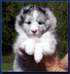 Shetland sheepdog or sheltie - Shelhaven's puppy, Shiver.