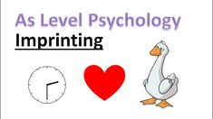 What is imprinting? What is the critical period? In this video we will answer these questions and evaluate the work of Lorenz. A Level Revision, Psychology A Level, Critical Period, Psychological Effects