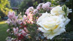 Sześć róż, które musisz mieć w ogrodzie - Ogród pod lasem Topiary, Pergola, Garden, Flowers, Plants, Roses, Balcony, Garten, Pink