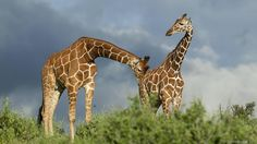 """Kinky animals-Egads! I'd not """"kissed"""" that giraffe had I know this! LOL"""