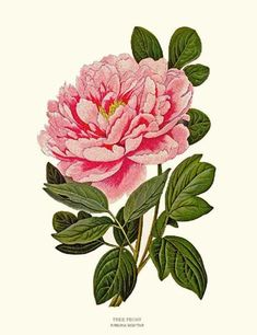This Tree Peony Flower Botanical Art Print is almost like the cards that we use here at Victoria's Guest House. There is a Sonoma County artist also named Victoria, that illustrates beautiful botanical art. Victoria A. Kochergin. We tell our guests to look her up on the web if they would like to purchase her art & cards. Cards are a lovely way to say Thank you, welcome, see you again.....